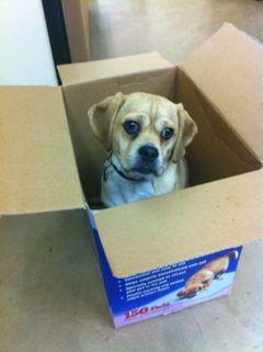 Puggle in a Box